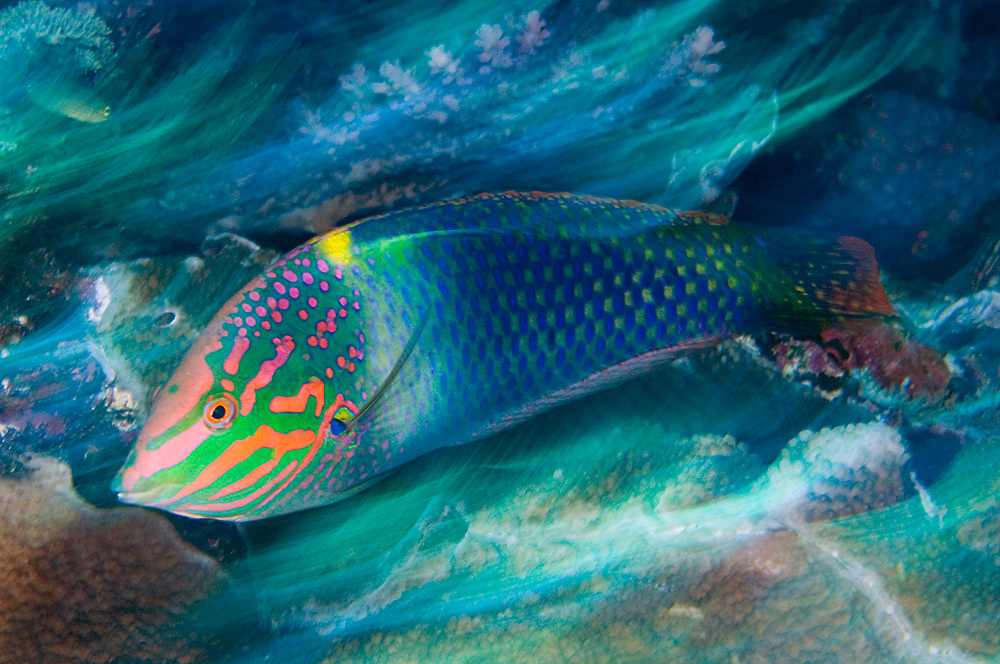 Winner; 2009 Nature's Best Photography Oceans Views Competition (Checkerboard Wrasse in Komodo National Park, Indonesia)