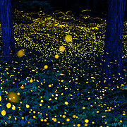 Luciola parvula himebotaru fireflies flashing at night for courtship and reproduction. This is a composite image comprising photos taken over a period of four and a half hours.