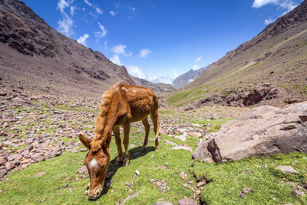 Toubkal national park, the peak whit 4,167m is the highest in the Atlas mountains and North Africa, donkey in natural landscape. Morocco