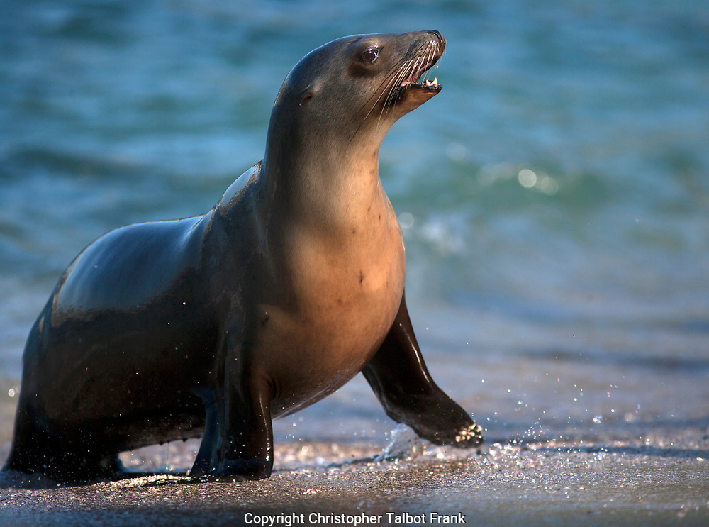 I was laying on the sand to get this photo of a playful barking sea lion in La Jolla. The seal is on a beach with the blue Pacific Ocean as a backdrop.