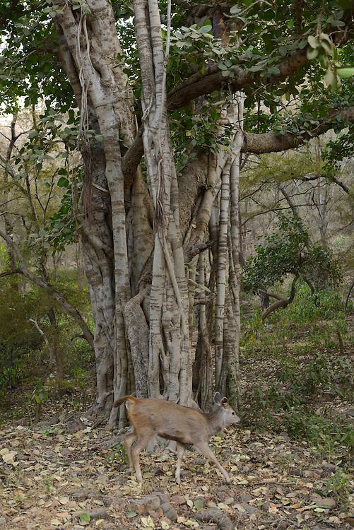Ranthambore National Park or Ranthambhore, Rajasthan,India,Asia..