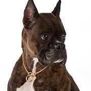 Boxer dog closeup
