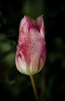 Delicate Wet Tulip about to Bloom