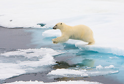Polar Bear (Ursus maritimus) jumping on ice floes in Spitsbergen, Svalbard