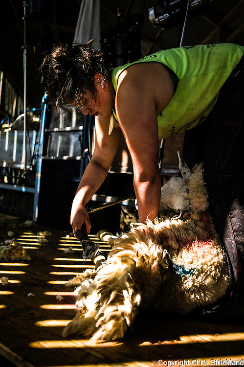 Sheep shearers at work on a hill farm near Jedburgh in the Scottish Borders. In the region of 300 sheep can be sheared per day by one person.