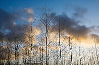 Poplar tree farm and sky at sunset. Western Washington, USA.