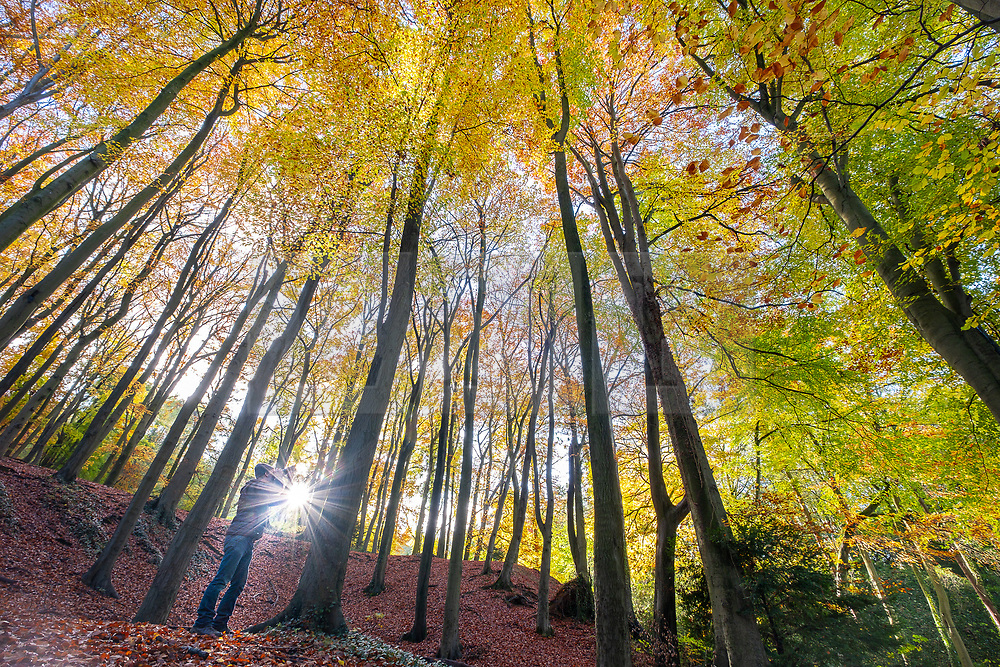 © Licensed to London News Pictures 07/11/2019, Cheltenham, UK. A walker stops to take photographs of the autumn colours in the leaves of trees on Leckhampton hill, Cheltenham. Photo Credit : Stephen Shepherd/LNP