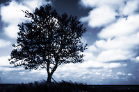 Silhouetted Tree with Puffy Clouds