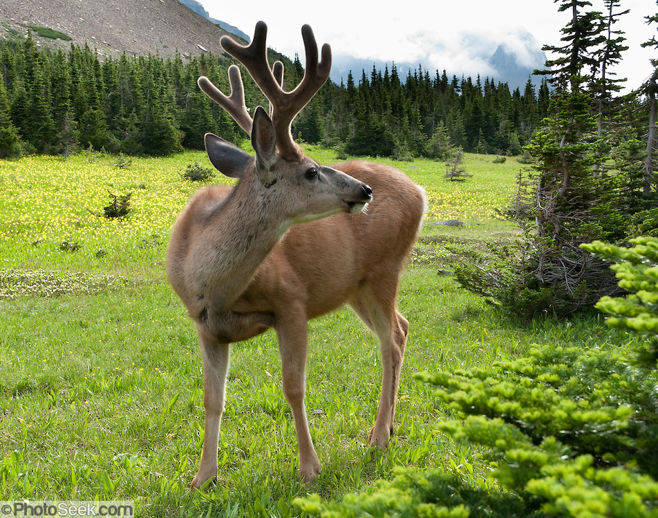 A mule deer (Odocoileus hemionus) sports a rack of antlers in a field of Glacier Lilies, along the Garden Wall trail near Logan Pass, in Glacier National Park, Montana, USA.