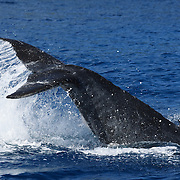 Humpback whale (Megaptera novaeangliae) calf slapping its tail at the ocean surface. The calf was playing together with its mother, which is common behavior for humpback whale mother and calf pairs. This calf, which I named Orion, was the 13th calf I counted in the 2007 season in Vava'u, Tonga.