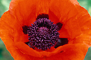 Macro photography of red poppy blossom