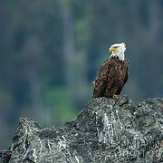 Bald Eagle perched on rock island;  Homer Alaska.