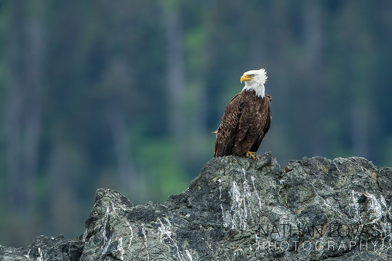 Bald Eagle perched on rock island;  Homer Alaska.