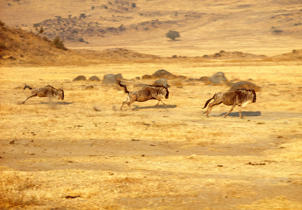 White-bearded gnu, or wildebeest, race across the golden plains at Ngorongoro Crater National Park, Tanzania.