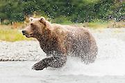 USA, Katmai National Park (AK).Brown bear (Ursus arctos) running in the water