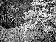 Jogging with blossoms in Central Park