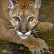 Puma (Puma concolor), Belize Zoo, Belize, Central America