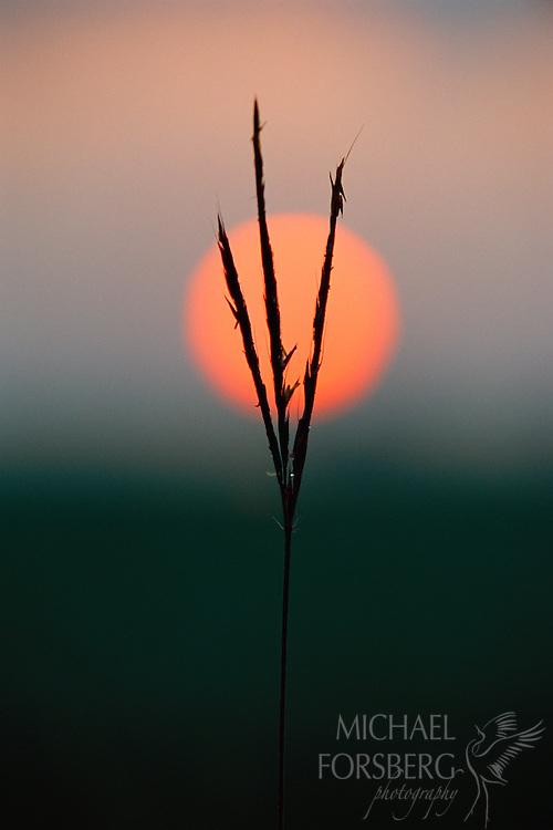 Big bluestem silhouette at sunset, Audubon Spring Creek Prairie, Nebraska.