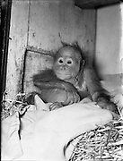 Dublin Zoo - The Baby Orangutan Lily - A Present form an Irish Man in Borneo.07/01/1954