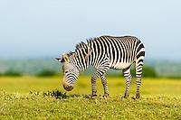 Cape Mountain Zebra stallion, De Hoop Nature Reserve, Western Cape, South Africa