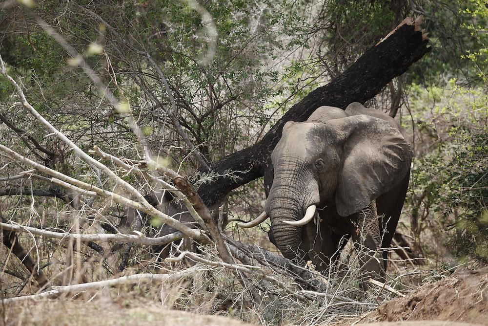 An elephant stands amongst broken trees. Lower Zambezi National Park, Zambia