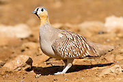 Male Crowned Sandgrouse (Pterocles coronatus) Photographed in the desert, negev, israel