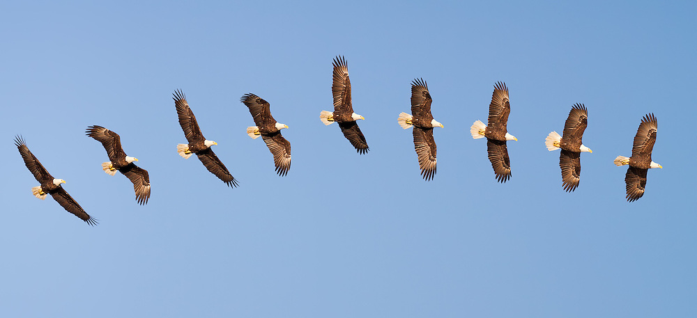 Bald Eagle 9-shot composite