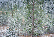 frost and snow on ponderosa pine forest
