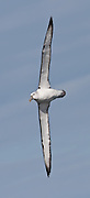 55x25cm print of a White-capped Albatross displaying the undersurface of its mighty wingspan, New Zealand.