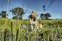 Botswana, Kalahari, private game reserve, captive lioness, hand raised lioness, in waterhole