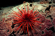 UNDERWATER MARINE LIFE EAST PACIFIC: Northeast URCHINS: Giant red sea urchin Strongylocentrotus franciscanus
