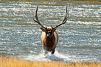 A Bull Elk climbs out of the Madison River on a sunny September afternoon.