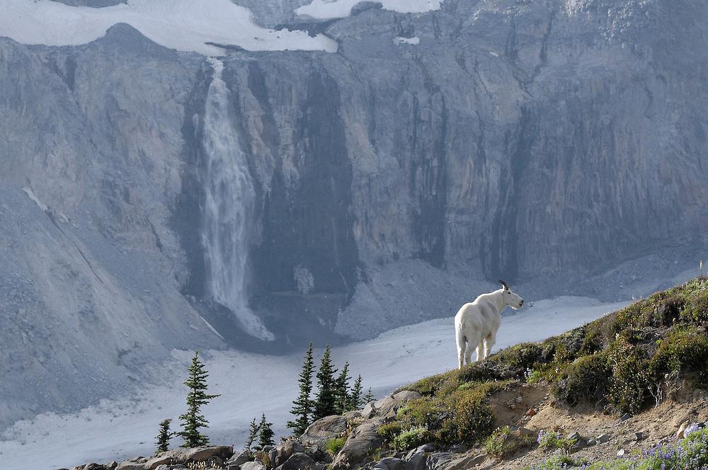 Mountain Goat (Oreamnos Americanus), Paradise Valley, Mt. Rainier National Park, Washington, USA