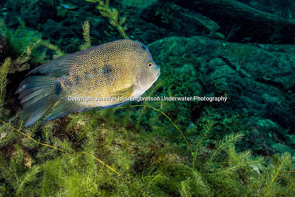 Texas Cichlid<br /> <br /> Jennifer Idol/Engbretson Underwater Photography