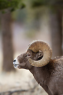 Bighorn Sheep Ram on lookout