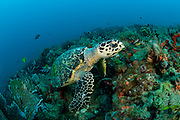 An endangered Hawksbill Sea Turtle, Eretmochelys imbricata, swims over a Palm Beach County, Florida, coral reef.