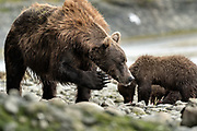 A brown bear sow known as Bearded Lady scratches her face as her cubs feed on salmon at the McNeil River State Game Sanctuary on the Kenai Peninsula, Alaska. The remote site is accessed only with a special permit and is the world's largest seasonal population of brown bears in their natural environment.