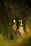 Common Pheasant (Phasianus colchicus) juveniles, pair on farm track,South Norfolk, UK. August.