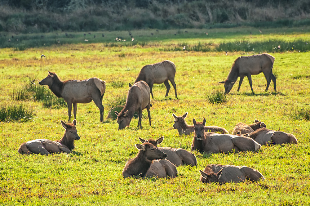 A small herd of female elk (cows) gracefully sleep or graze in the late autumn afternoon sun in Central Oregon, while less than a mile away - a herd of bulls compete for dominance of this harem, of which there will be only one winner.