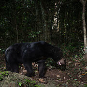The sun bear (Helarctos malayanus) is a bear found in tropical forest habitats of Southeast Asia. It is classified as Vulnerable by the International Union for Conservation of Nature (IUCN)