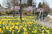 Osterglocken an der Straße, Bensheim, Bergstraße, Hessen, Deutschland | daffodils, Bensheim, Bergstrasse, Hesse, Germany