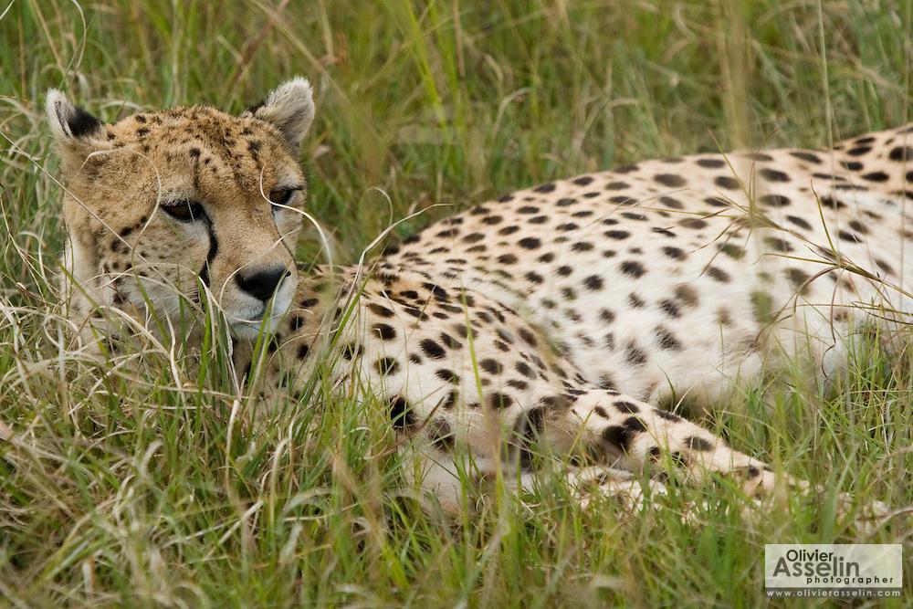Cheetah lying in tall grass, Masai Mara, Kenya
