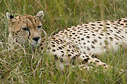 Cheetah lying in tall grass, Masai Mara, Kenya