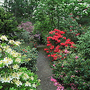 Garden path and mixed rhododendrons, British Columbia.