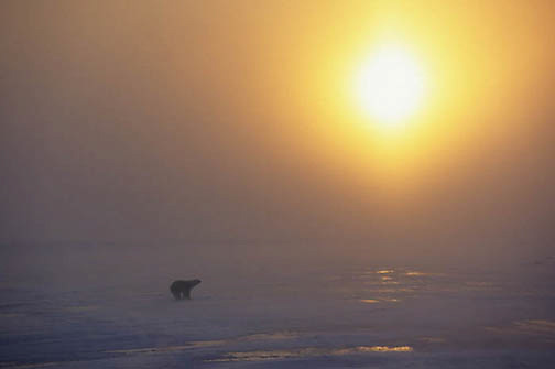 Polar Bear, (Ursus maritimus) On frozen ice of Churchill, Manitoba. Canada. Evening sun setting.