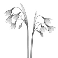 X-ray image of summer snowflake blooms (Leucojum aestivum, black on white) by Jim Wehtje, specialist in x-ray art and design images.
