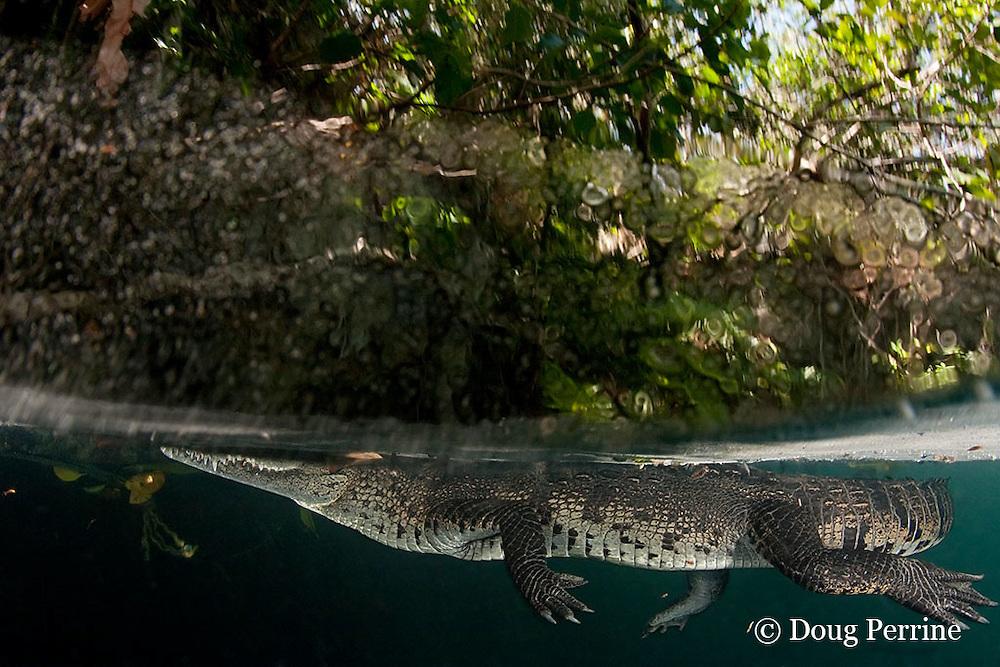 Morelet's crocodile, Central American crocodile, or Belize crocodile, Crocodylus moreletii,  in cenote, or freshwater spring, near Tulum, Yucatan Peninsula, Mexico