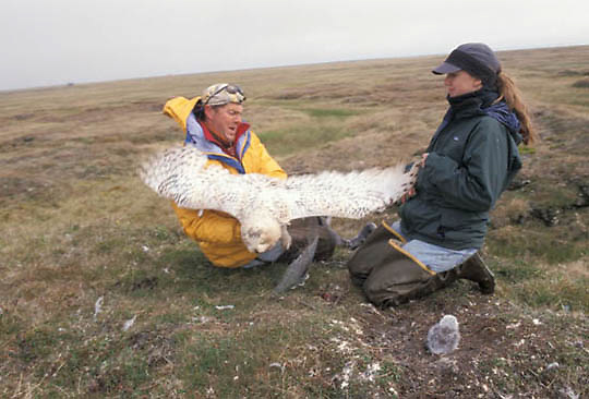 Snowy Owl, (Nyctea scandiac) Denver Holt and Laura Phillips with captured female. Barrow, Alaska.
