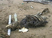 Unknown Creature was found by Soldiers<br /> <br /> This creature was found by Russian soldiers on Sakhalin shoreline. Sakhalin area is situated near to Japan, it's the most eastern part of Russia, almost 5000 miles to East from Moscow.People don't know who is it. According to the bones and teeth – it is not a fish. According to its skeleton – it's not a crocodile or alligator. It has a skin with hair or fur. It has been said that it was taken by Russian special services for in-depth studies, The soldiers who encountered it first took these images before it was taken away.<br /> ©RSS/Exclusivepix Media