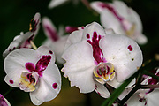 white and Purple Orchid closeup